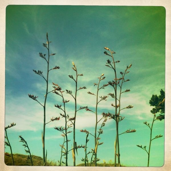 New Zealand flax flowering at the beach