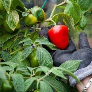 Cómo cultivar, plantar y cosechar el Rocoto
