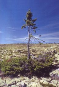 Called Old Tjikko, this 9,550-year-old trunk from a clonal Norway spruce is a record-breaker.
