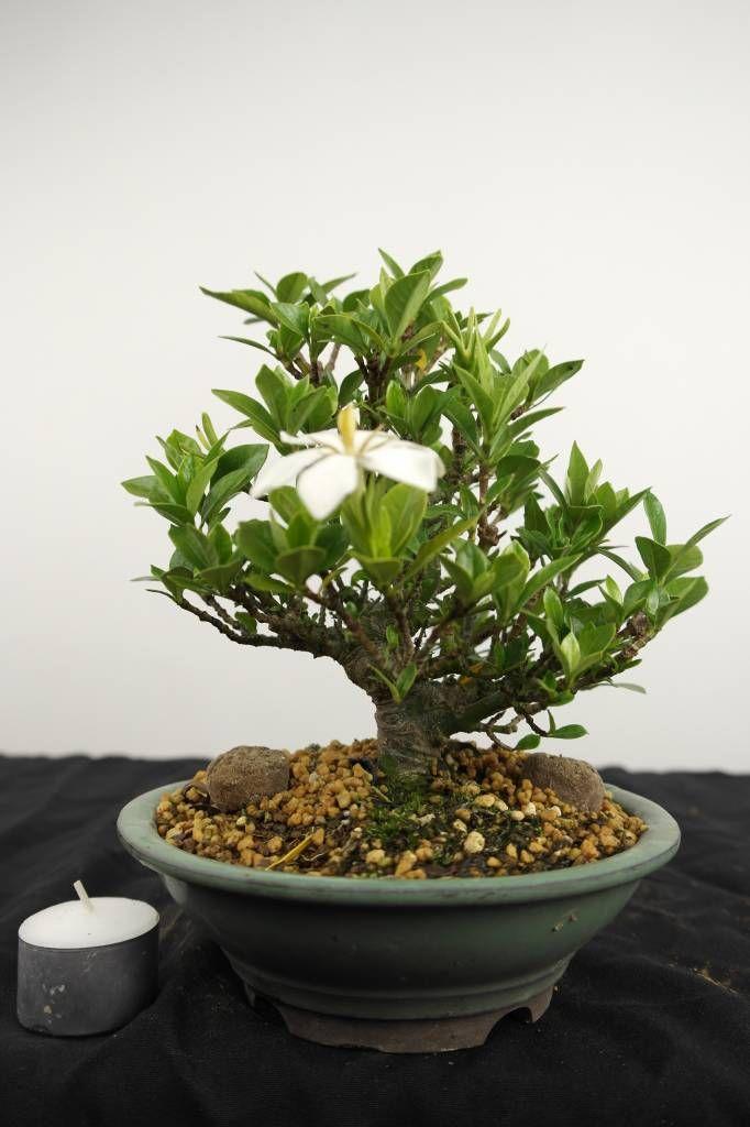 Bonsai Shohin Gardenia