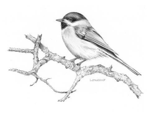 Chickadee Bird Drawing Black-capped chickadee from a
