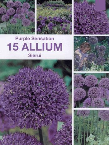 Allium 'Purple Sensation', Storpack:   (Allium aflatunense)   Lila bollformade blommor omkring 10 cm i diameter. Blommar i juni. Vill växa i ett soligt läge med näringsrik, väldränerad jord, har annars inga större krav. Härdig i stora delar av landet. Blir ca. 80-100 cm hög. Förökar sig med frön. Brukar lämnas i fred av rådjur, kaniner och harar. Lökstorlek 10/12. 15 lökar.