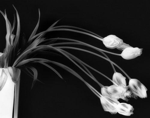 Drooping tulips by Bill Gekas