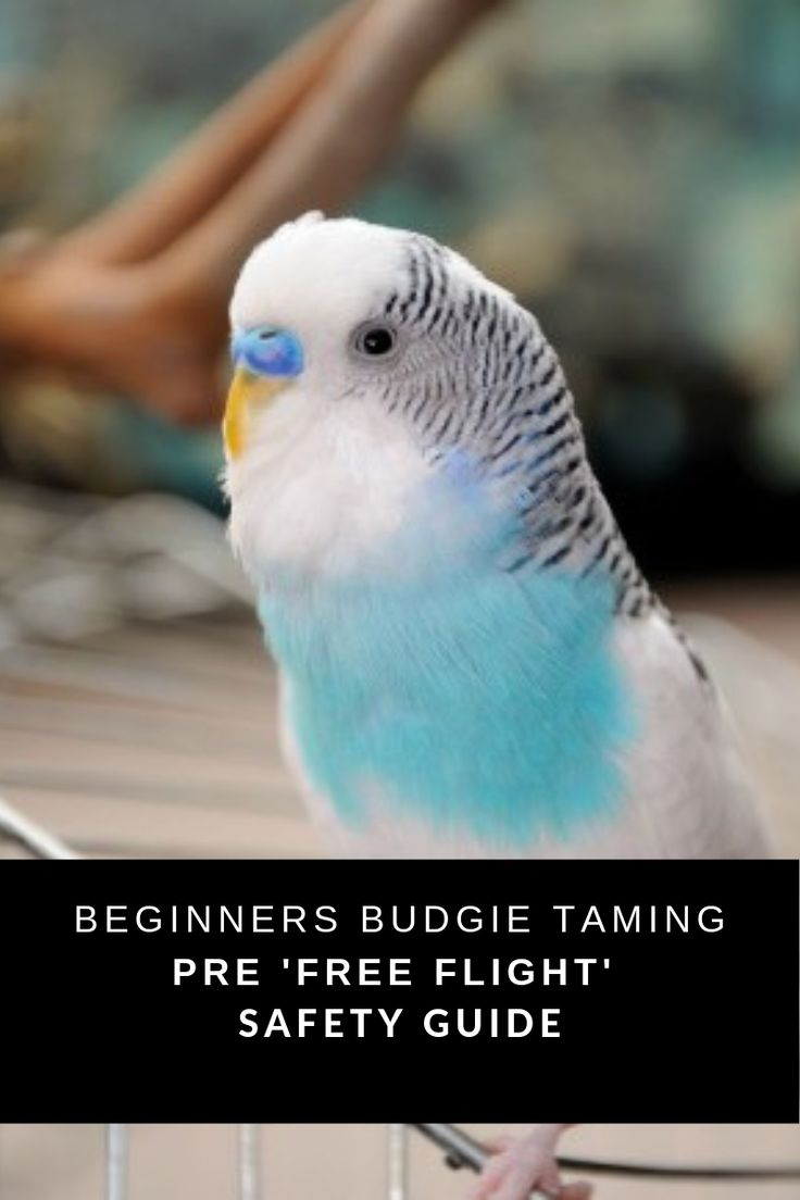 how to take care of a parakeet for beginners