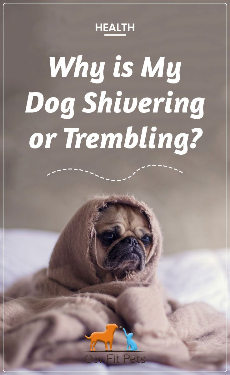 Why Is My Dog Shivering Or Trembling Dog Shaking Dogs Pets