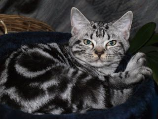 American shorthair cat ottawa