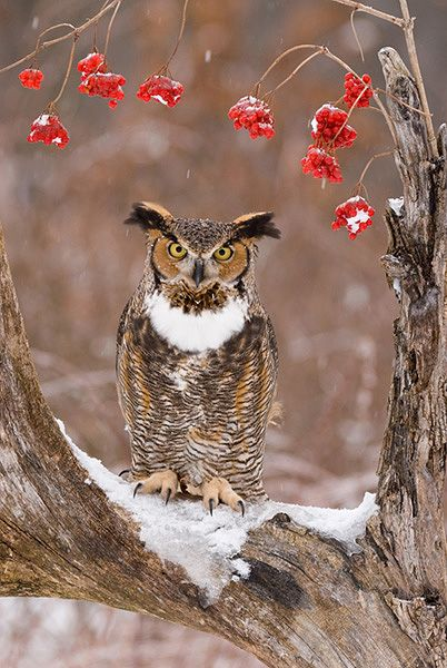 Howell Nature Center, Howell, MI.  Did you know that Great Horned Owls are the first birds to nest in Michigan? Hear them Hooting in Jan and Feb.