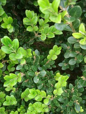 17 Best Images About Texas Shrubs And Hedges On Pinterest