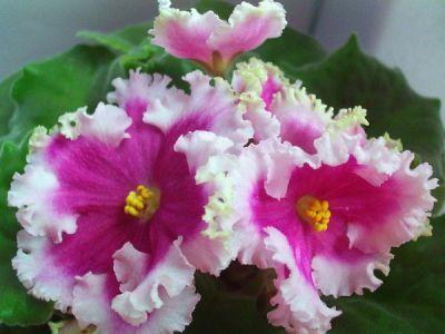 НИЛ-Шамаханская Царица Пример цветения временно на фото из Интернета http://www.dimetris.ru/flower_new/janeaer/senpolii/nil-shamahanskaya-carica/22444