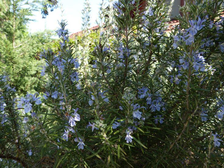Virágzik a rozmaring - Mindenki Kertje