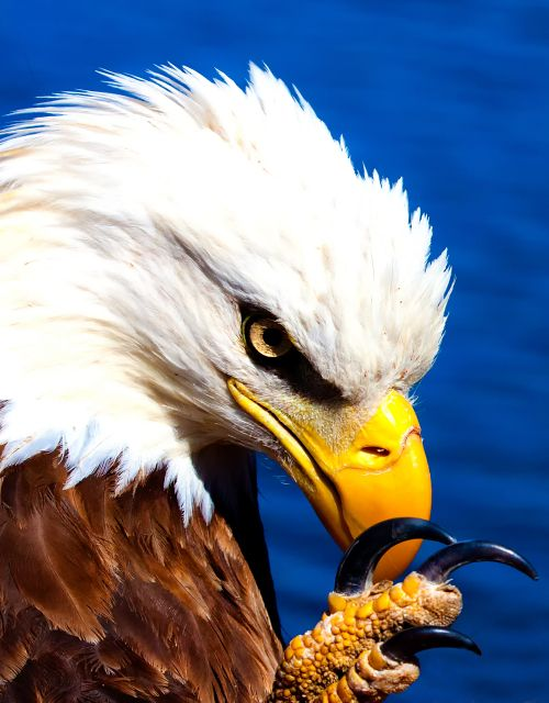 PEACEFUL EYE American Eagle by William Rainey Fotography