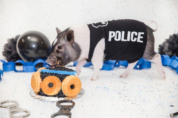 Meet Hercules the pig policeman http://ift.tt/2toBOeS