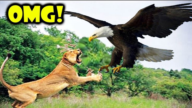 Lion vs Eagle Eagle Wins | Lion vs Eagle Incredible Fighting Must Watch ...