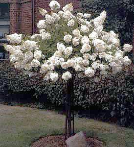 Pee Gee Hydrangea | Garden Plant Deciduous Shrubs | Chicago Garden Designers