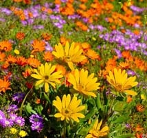 Clanwilliam Flowers - the best in South Africa
