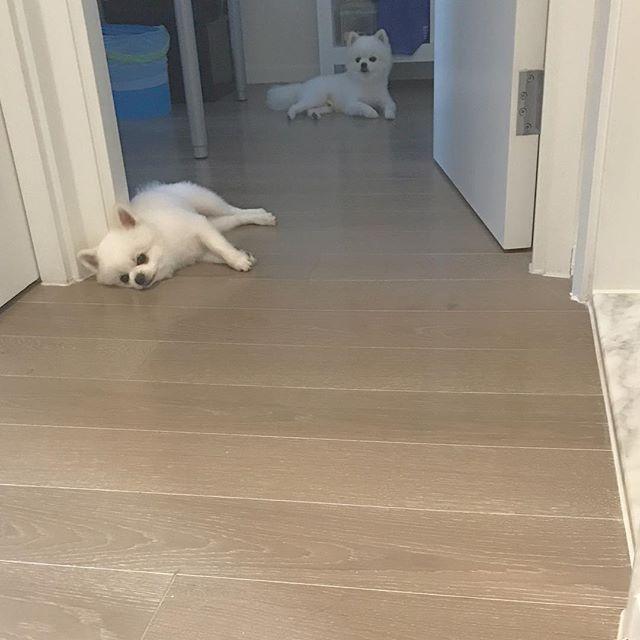 マルが📸にびっくりしてる。笑 . . #dogstagram  #ポメラニアン#pomeranians#愛犬#犬#白い犬#遊び#お散歩#White#白#香港#番犬#Love#dogs#walk#2人#散歩#親子犬#親子#香港life#life#lifestyle#丸#japan#ご機嫌#cafe#malu#reo#ペット#kiss