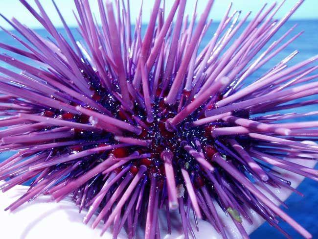 Sea Urchin.  Claire Fackler, NOAA National Marine Sanctuaries