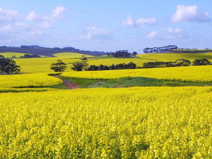 Canola fields outside Caledon, Western Cape South Africa