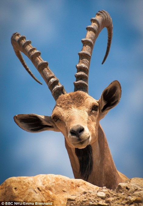 With rubberised hooves that grip better than any climbing show, Nubian Ibex are unparalleled mountaineers