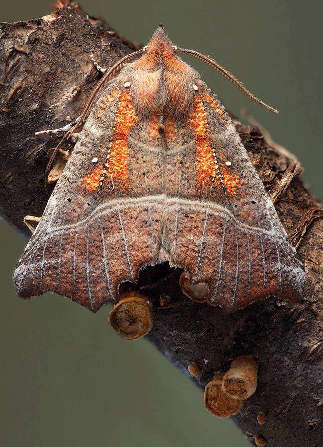112 Best Moths Images On Pinterest  Butterflies Caterpillar And Extraordinary Small Moths In Bathroom Review
