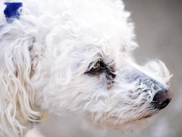 Cleaning near your dog's eyes requires extreme care. Find out how to carefully remove tear stains here.
