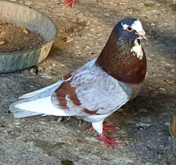 17 Best images about pigeons on Pinterest | On august ...