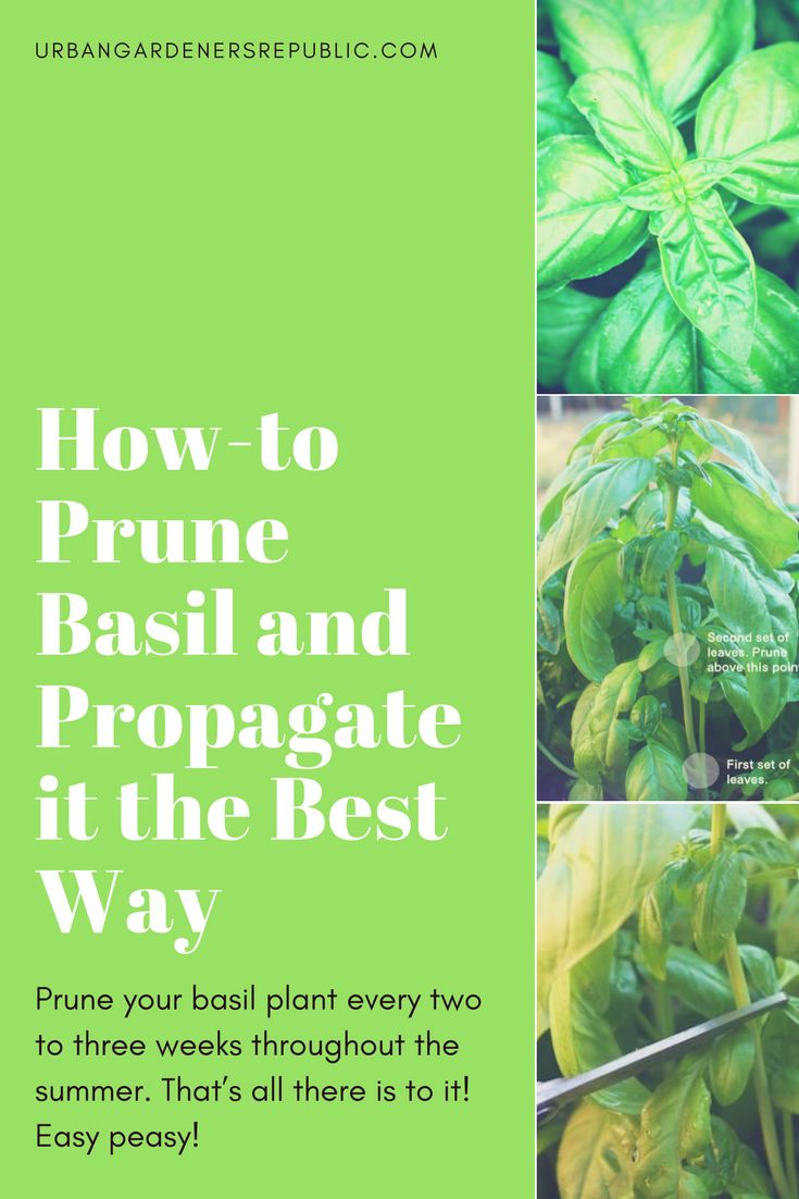 """How-to Prune Basil and Propagate it the Best Way Prune your basil plant every two to three weeks throughout the summer. That's all there is to it! Easy peasy! See our """"How to Prune Basil"""" photo guide now."""