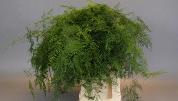 Asparagus plumosus, Adomex, importeur & exporteur decoratiegroen / snijgroen