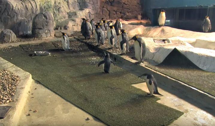 """Vídeo """"¿Cómo viven los pingüinos?"""" FAUNIA"""