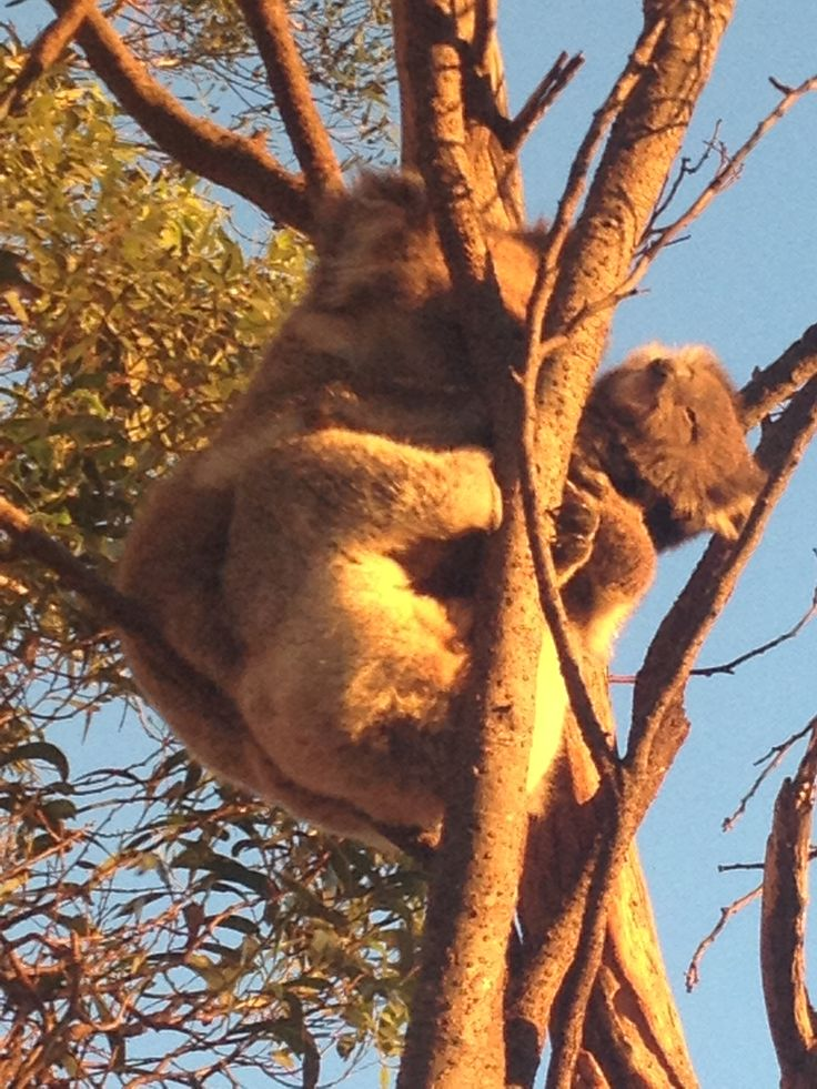 I love Adelaide because this afternoon I walked up Mount Lofty with my friends and we were rewarded with so much; like seeing these beautiful sun kissed koalas in the golden evening light. Mum and her baby infant koala clutching on to her. They were in a Eucalyptus (gum tree) near a track on the descent to Pengana spur. :D Jan 19 2014