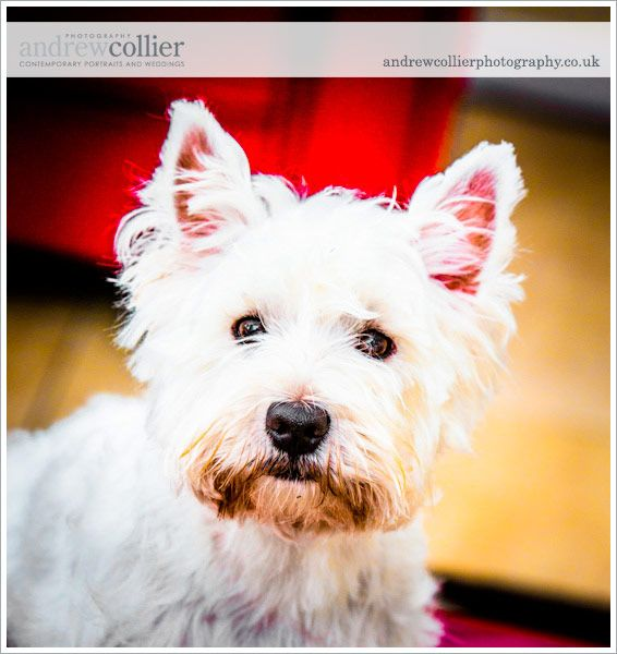 Pet portrait photography by Andrew Collier Photography