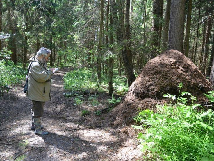 Самый большой муравейник Подмосковья обнаружили биологи, которые по заказу Минэкологии ведут мониторинг редких видов флоры и фауны.  Гнездо рыжих лесных муравьев, найденное в лесах Клинского района, имеет высоту около 1,7 м и диаметр основания 2,5 м. По отзывам экспертов, такие муравейники встречаются в настоящее время в Подмосковье чрезвычайно редко: этот является самым крупным из всех встреченных в последние годы. Специалисты отмечают, что благодаря своим размерам муравейник устоял даже…