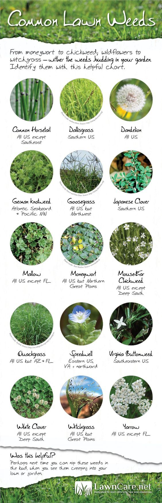 Common Lawn Weeds   Visual.ly