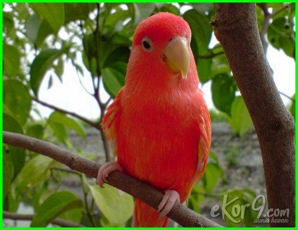 Unduh 42 Foto Gambar Burung Lovebird Paling Mahal HD