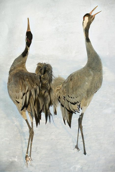 The dance of the Cranes - 1 of 2 Greeting Card by Steppeland -