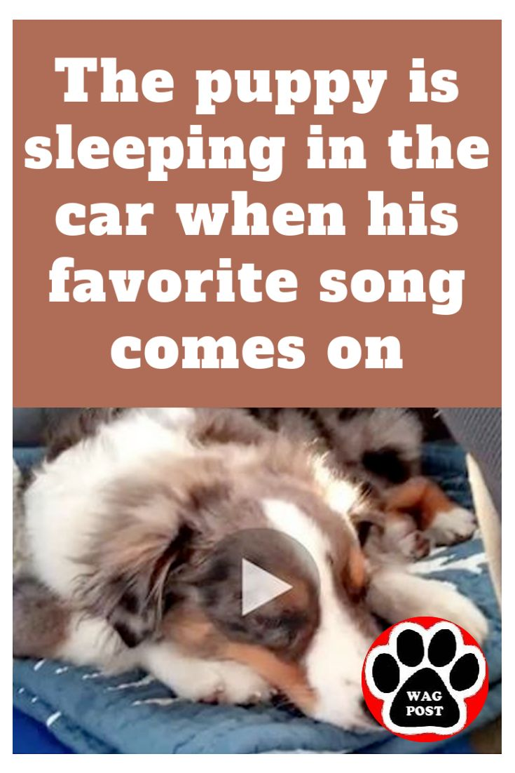 The puppy is sleeping in the car when his favorite song comes on