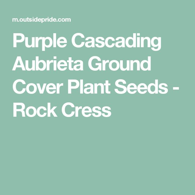 Purple Cascading Aubrieta Ground Cover Plant Seeds - Rock Cress