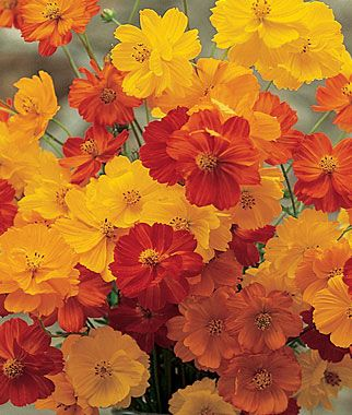Cosmos is easy-to-grow. Shown here, Cosmos, 'Bright Lights Mixed Colors' from Burpee