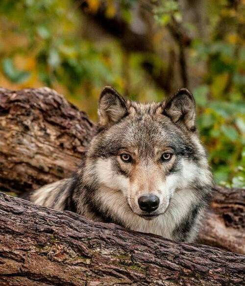 Timber Wolf STOP KILLING WOLVES !