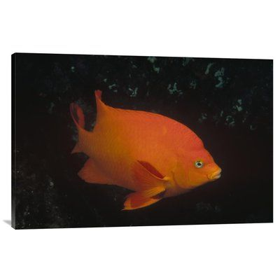 East Urban Home 'Garibaldi Adult Portrait, Channel Islands National Park, California' Photographic Print