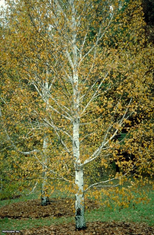 Landscaping With Paper Birch Trees : Betula papyrifera paper birch shrubs bushes trees