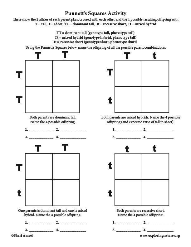 Learn About Genetics And The Human Genome On Exploringnature Org Punnett Square Activity Punnett Squares Genetics Activities