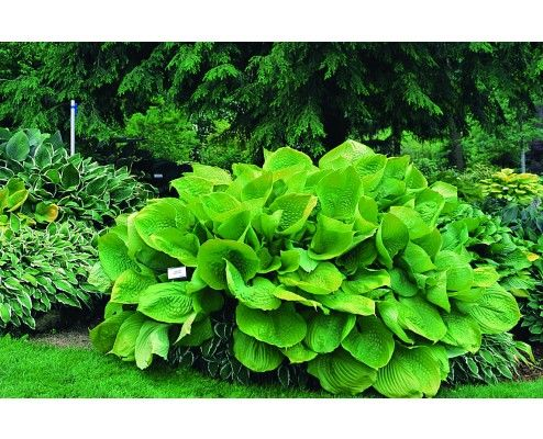 Hosta 'Sum and Substance' | Hostas Direct.........got this one.....biggggie....