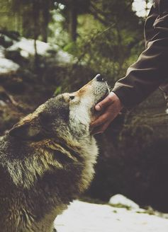 "You find Buddy lost in the woods and scared. He doesn't know why he's turned into a wolf. ""P-please... H-help me..."" He whines"