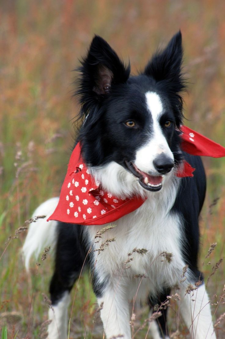 Border Collie.....<Bridger!!! Not really but looks just like him.> Char *