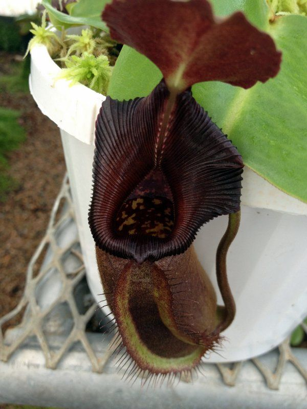 Jeremiah's Nepenthes | Carnivorous Plants in the tropics