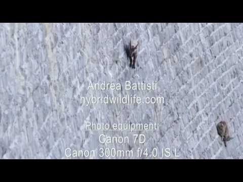 Watch These Amazing Alpine Goats Scale a Near-Vertical Dam | Atlas Obscura