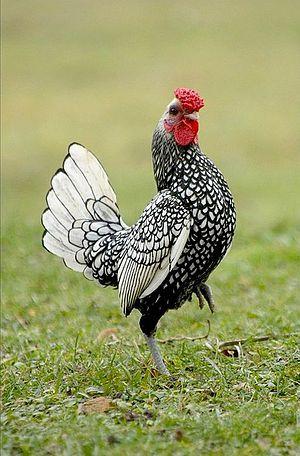 viva el año del gallo de fuego