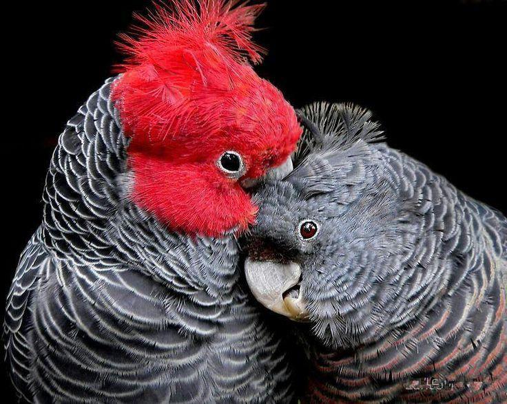 gang-gang cockatoos