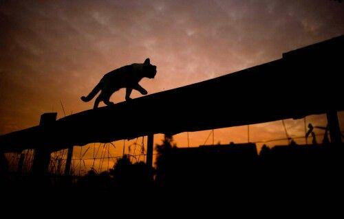 Entre chat et loup